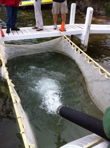 Large Fingerling Muskies being stocked in Lake Geneva